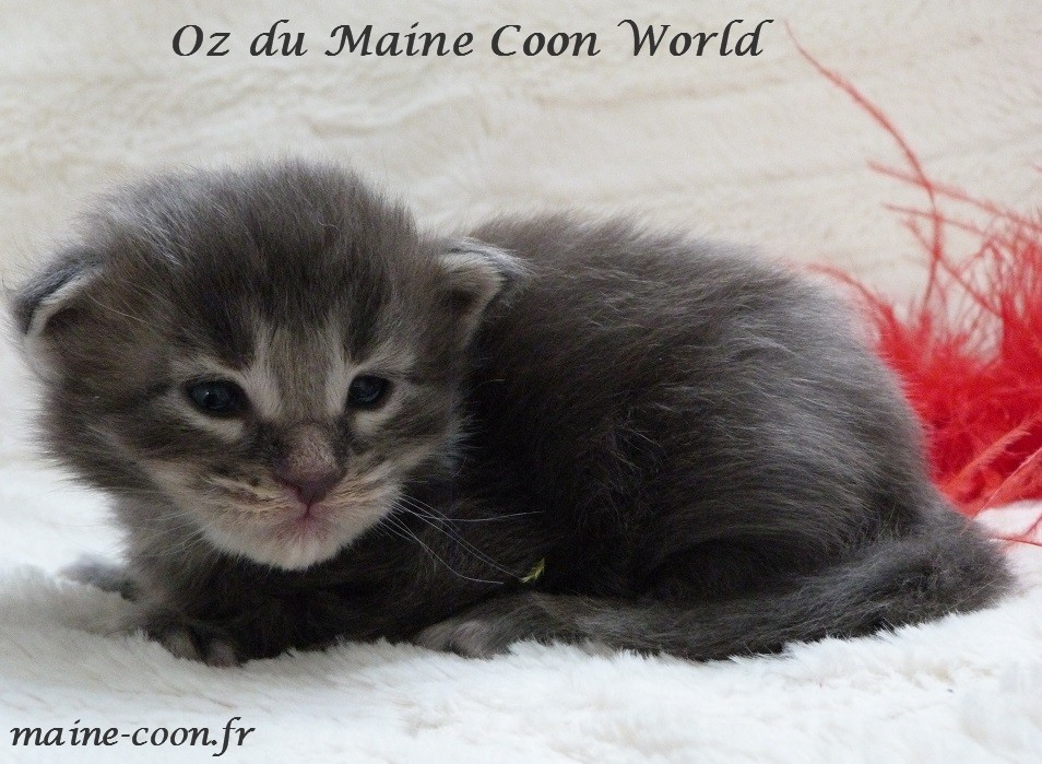 chaton maine coon bleu silver tabby