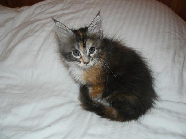 chatonne maine-coon de trois mois