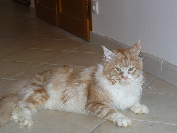 maine-coon mâle red silver blotched tabby et blanc