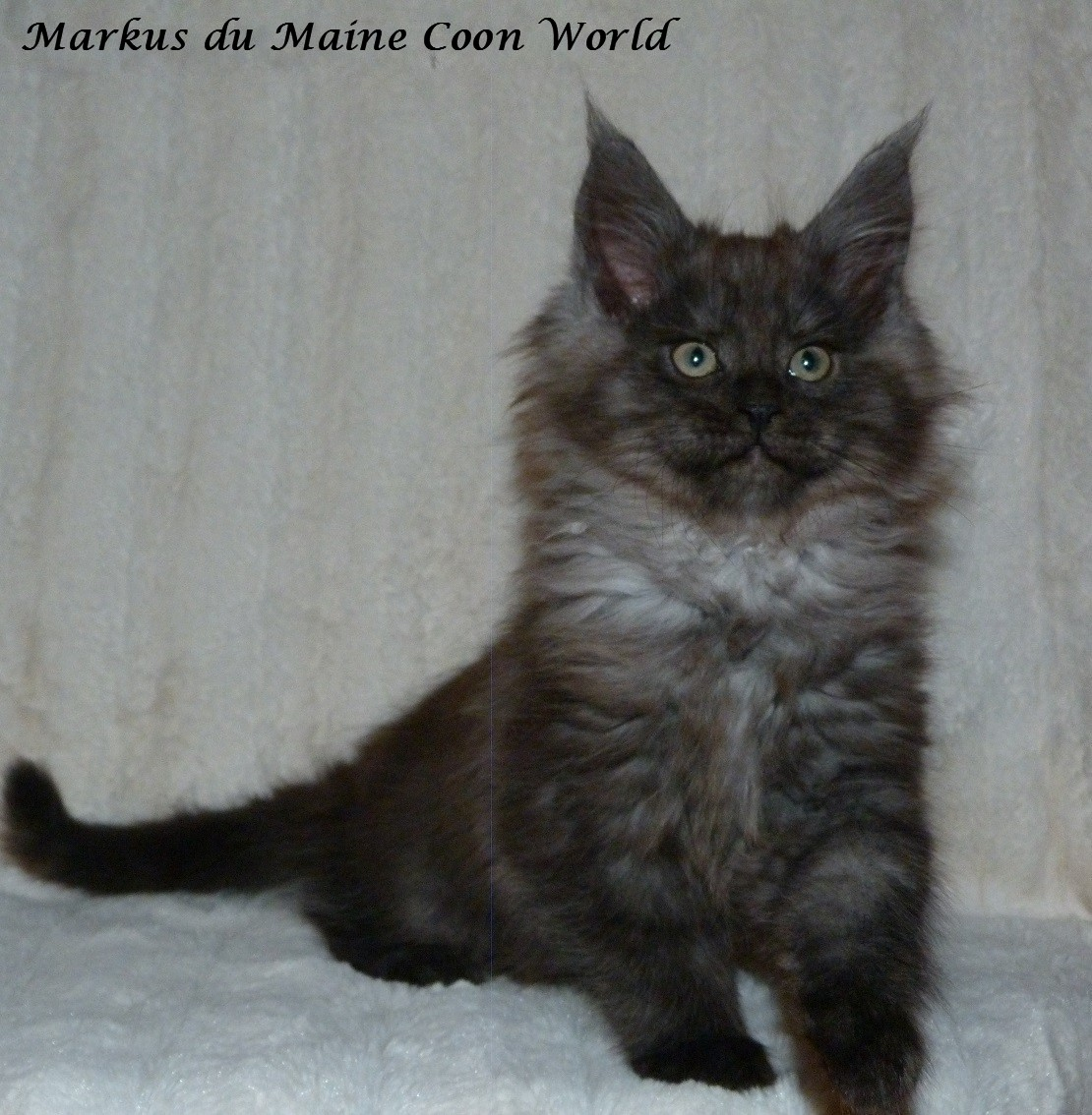 chaton maine coon black smoke