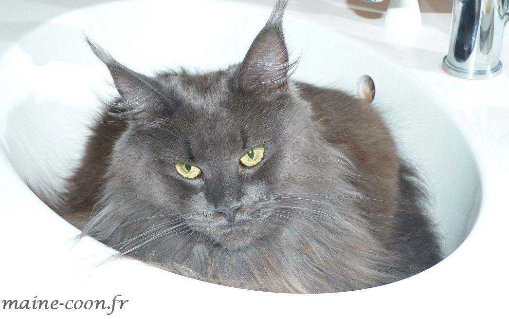 femelle maine coon bleue smoke