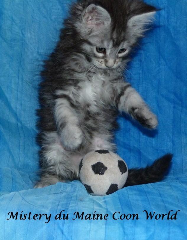 Chatonne maine coon qui joue au foot