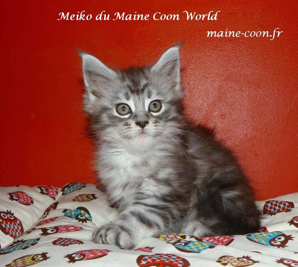 chaton maine coon black silver blotched tabby