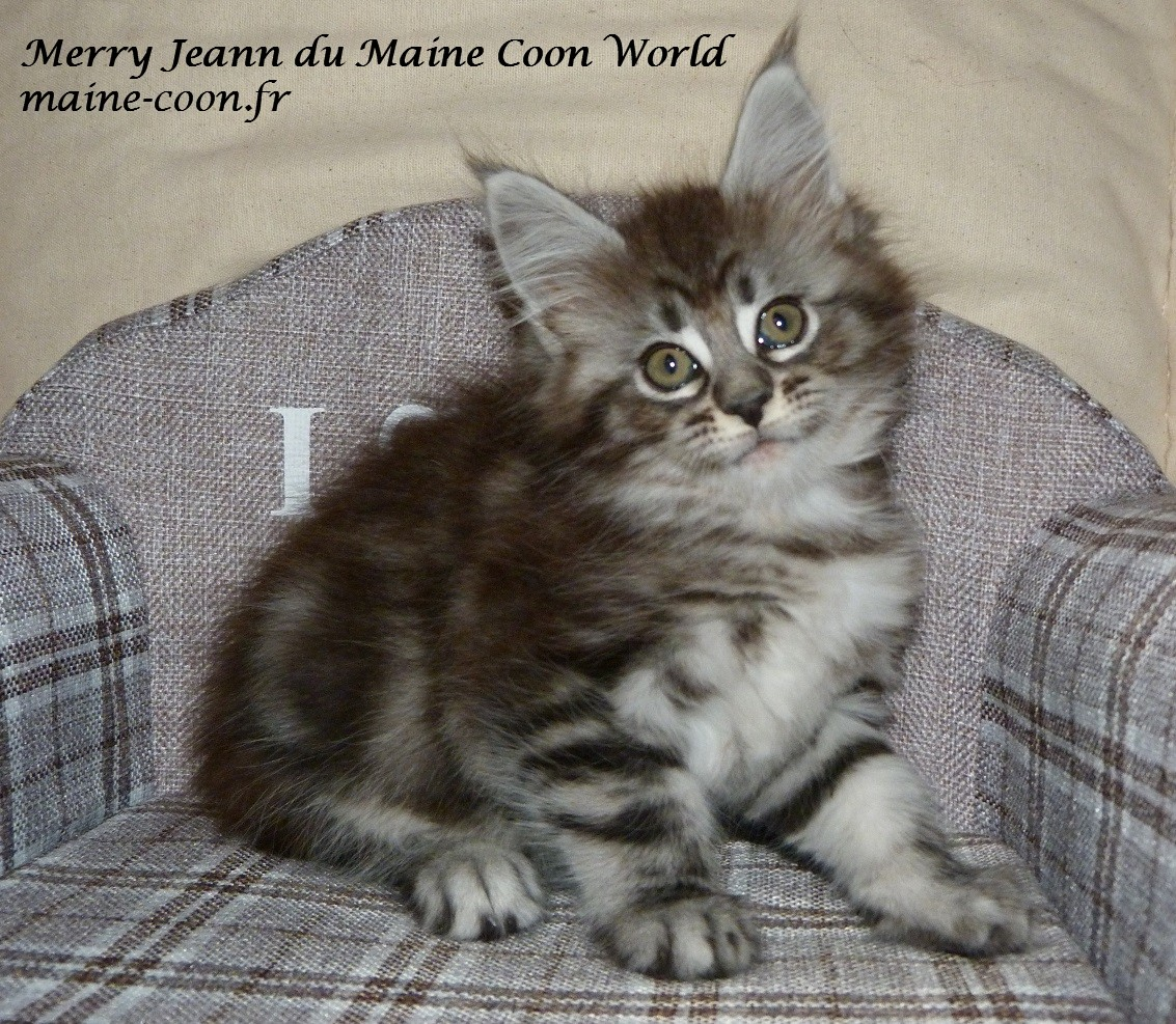 chatonne maine coon black silver