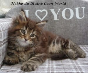 chaton maine coon brown