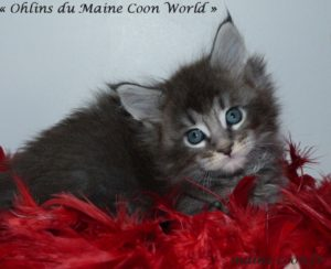 ohlins du maine coon world 2 mois chaton maine coon bleu tabby