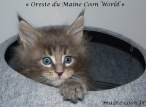 chaton maine coon bleu blotched tabby