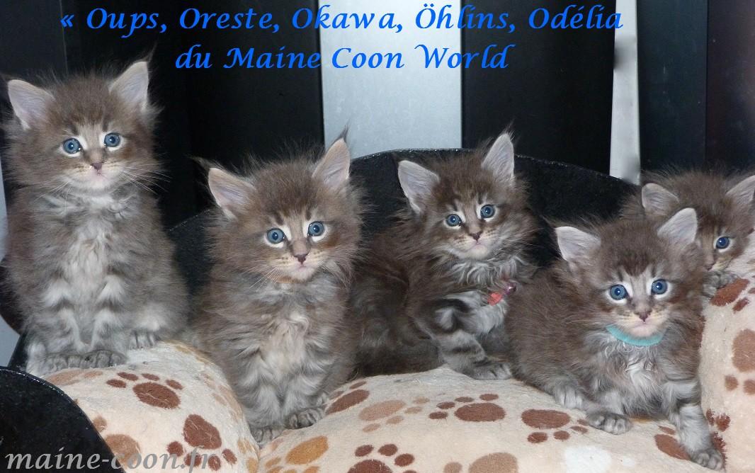 la tribu du maine coon world chaton bleu un mois et demi