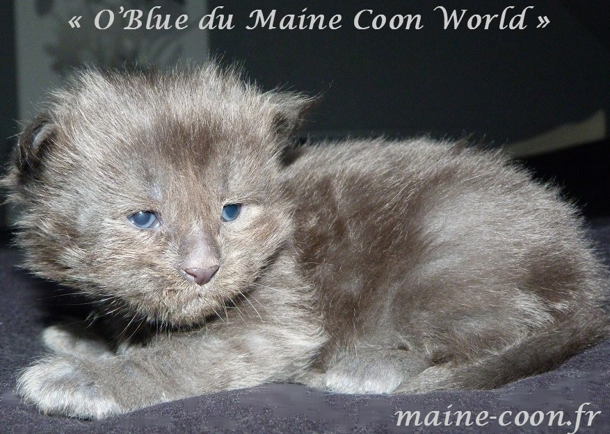 chaton maine coon bleue
