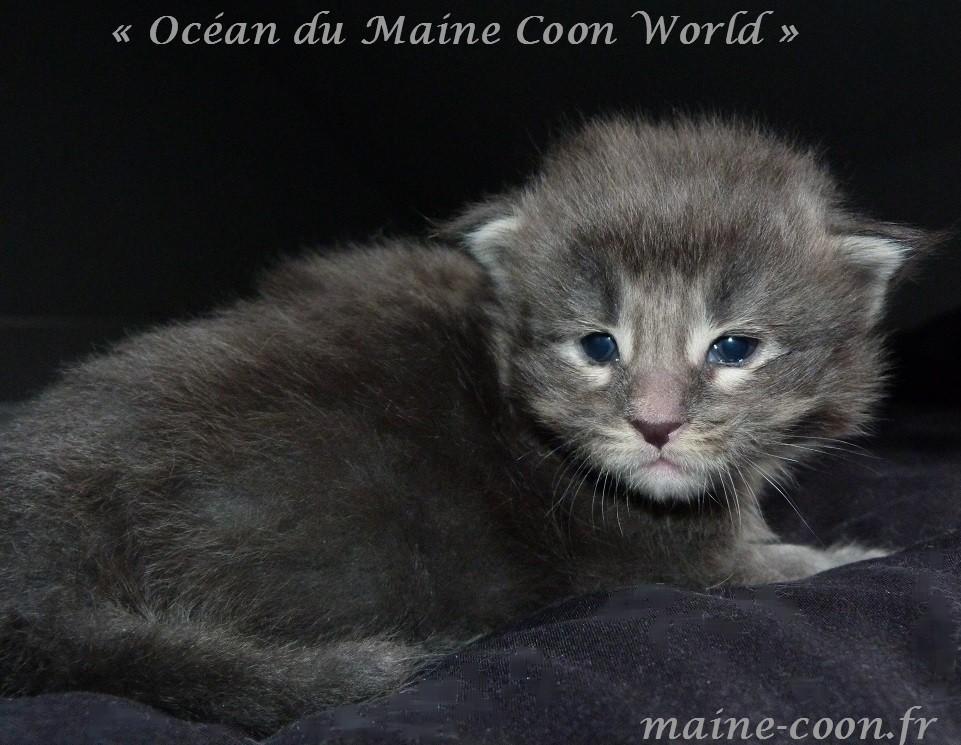 chaton maine coon bleu tabby d'un mois