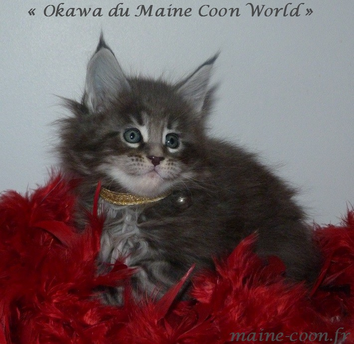 okawa du maine coon world chatonne de deux mois bleue blotched taby