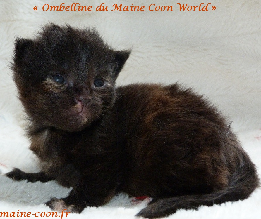 Ombelline du maine coon world chatonne black tortie de 13 jours