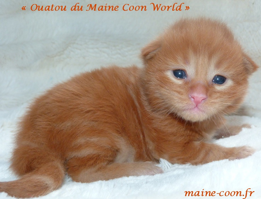 Ouatou du maine coon world chaton maine coon red blotched tabby de 15 jours