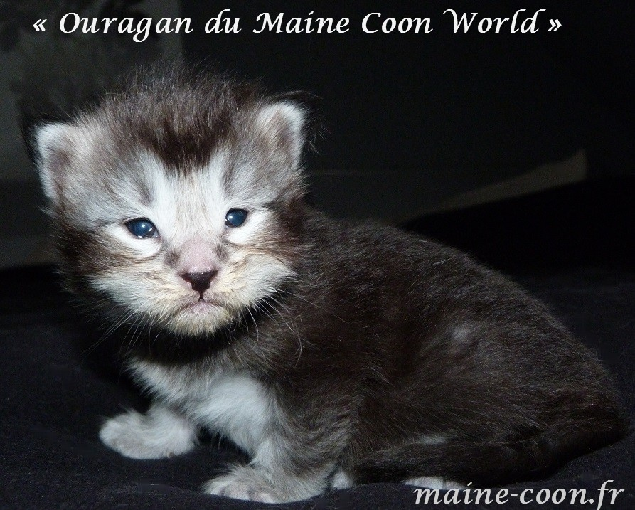 Ouragan du maine coon world chaton maine coon black blotched tabby jours