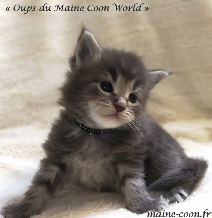 Oups du maine coon world