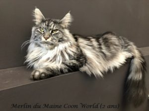 Merlin du maine coon world maine coon mâe black silver blotched tabby